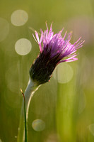 Spaanse Ruiter - Meadow Thistle - Cirsium dissectum