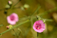 Palm-leaf Marshmallow - Althaea cannabina
