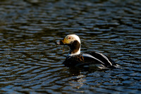 IJseend; Long-tailed Duck; Clangula hyemalis