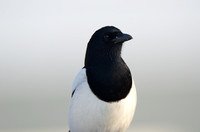 Ekster; Magpie; Pica pica;