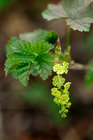Aalbes - Red currant - Ribes rubrum;