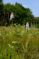 Gevlekte Orchis; Heath spotted-orchid; Dactylorhiza maculata