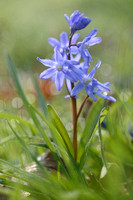 Kleine sneeuwroem; Glory of the Snow; Chionodoxa sardensis