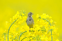 Graspieper - Meadow Pipit - Anthus pratensis