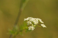 Karwijvarkenskervel - Milk Parsley - Peucedanum carvifolia