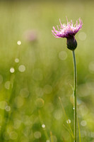 Spaanse Ruiter; Meadow Thistle; Cirsium dissectum;