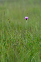 Spaanse ruiter; Meadow thistle; Cirsium dissectum