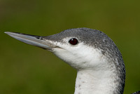 Roodkeelduiker; Gavia stellata; Red-throated Diver