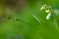 Lelietje-van-dalen; Lily-of-the-Valley; Convallaria majalis