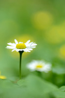 Madeliefje; Daisy; Bellis perennis