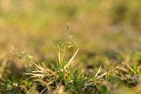 Straatgras - Annual Meadow-grass  Poa annua