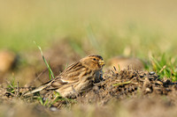 Frater - Twite - Carduelis flavirostris