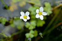 Witte Waterranonkel - White-flowered Buttercup - Ranunculus ololeucos