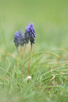 Grape-hyacinth; Muscari neglectum
