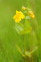 Gele maskerbloem - Yellow monkeyflower - Mimulus guttatus