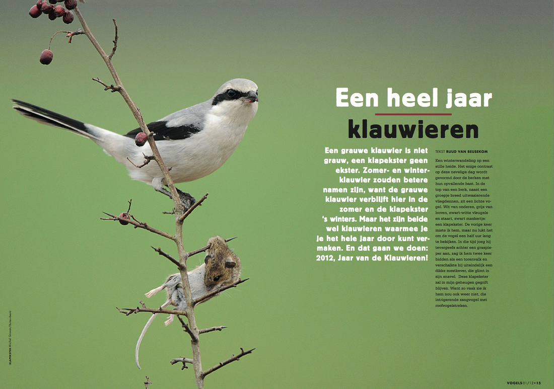 In the dutch magazine Vogels a spread was placed with one of my photos of the Great Grey Shrike.  As the year 2012 was declared the year of the Shrikes in the Netherlands.