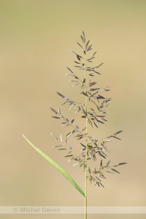Klein Liefdegras; Little lovegrass; Eragrostis minor