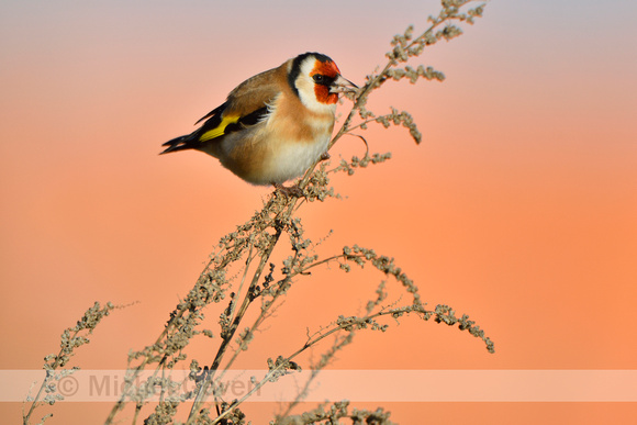 Putter; European Goldfinch; Carduelis carduelis