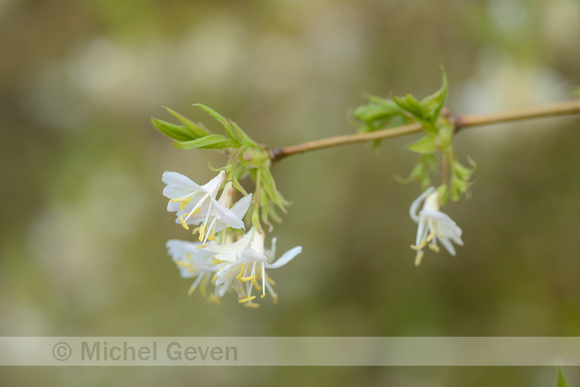 michel geven natuurfotografie winterkamperfoelie sweet breath of spring lonicera. Black Bedroom Furniture Sets. Home Design Ideas