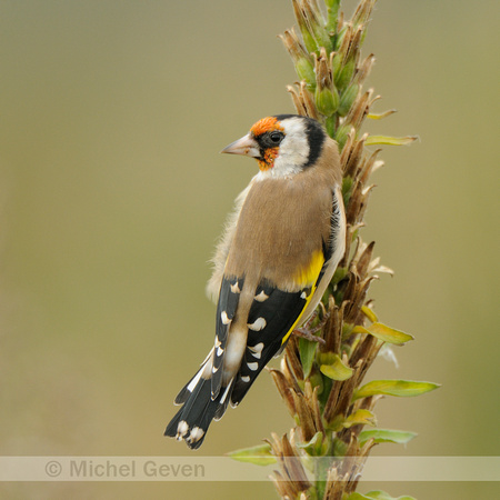 Putter; European Goldfinch; Carduelis carduelis;