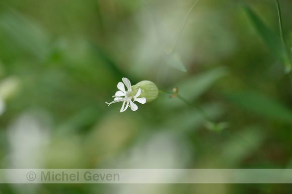 Blaassilene; Bladder Campion; Silene vulgaris