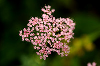 Grote Bevernel -  Pimpinella major -  Greater burnet-saxifrage
