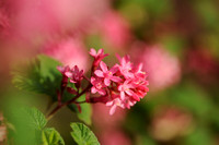 Rode Ribes - Flowering Currant - Ribes sanguineum