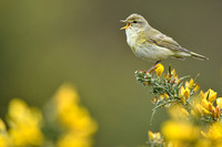 Fitis - Willow Warbler - Phylloscopus trochilus