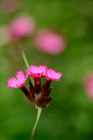 Karthuizer anjer; Clusterhead Pink; Dianthus carthusianorum;