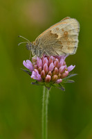 Bruin zandoogje; Meadow Brown; Maniola jurtina