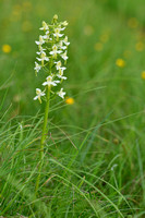 Bergnachtorchis; Greater Butterfly-orchid; Planathera montana