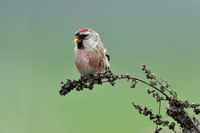 Grote Barmsijs - Redpoll - Carduelis flammea