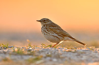 Graspieper; Meadow Pipit; Anthus pratensis