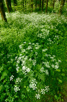 Fluitenkruid - Cow Parsley - Anthriscus sylvestris