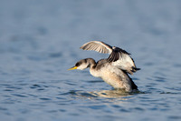 Roodhalsfuut; Red-necked grebe