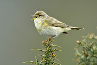 Fitis; WIllow warbler; Phylloscopus trochilus
