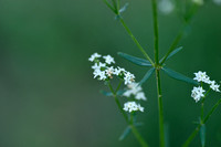 Noords walstro; Northern Bedstraw; Galium boreale