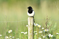 Ekster; Magpie; Pica pica