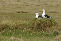 Grote Mantelmeeuw; Great Black-backed Gull; Larus marinus