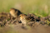 Frater; Twite; Carduelis flavirostris