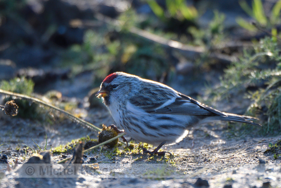 Grote Barmsijs; Common Redpoll; Acanthis flammea flammea