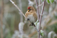 Barmsijs; Common Redpoll; Acanthis flammea