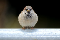 Huismus; House Sparrow; Passer domesticus;