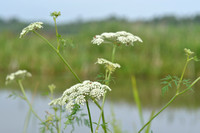 Melkeppe - Milk Parsley - Peucedanum palustre