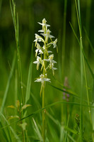 Bergnachtorchis; Greater Butterfly-orchid; Platanthera montana