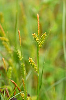 Zilte zegge; Carex distans