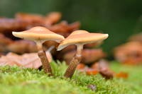 Paddenstoelen - Mushrooms